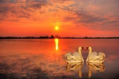Cisnes en la puesta del sol Fotos de archivo libres de regalías