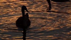 Cisnes en la puesta del sol almacen de video
