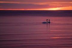 Cisnes en la puesta del sol Fotos de archivo