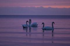 Cisnes en la puesta del sol Imágenes de archivo libres de regalías