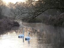 Cisnes en la salida del sol en el ajedrez del r?o en la parte inferior de Sarratt, Hertfordshire fotos de archivo