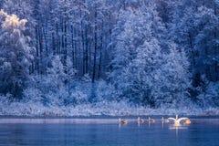 Cisnes en la salida del sol en el lago del invierno Foto de archivo