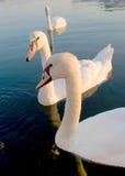 Cisnes en la superficie del agua Imágenes de archivo libres de regalías
