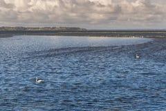 Cisnes en la superficie ondulada del mar Fotografía de archivo