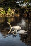 Cisnes en la tarde Fotos de archivo