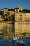 Cisnes en Lyon Foto de archivo libre de regalías