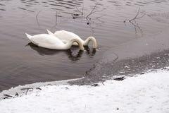 Cisnes en Moldava en el invierno Imagenes de archivo