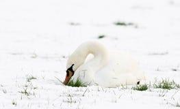 Cisnes en nieve Foto de archivo