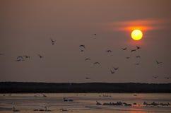 Cisnes en puesta del sol sobre el lago Imágenes de archivo libres de regalías