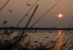 Cisnes en puesta del sol sobre el lago Fotos de archivo