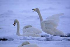 Cisnes en snowscape Fotos de archivo libres de regalías