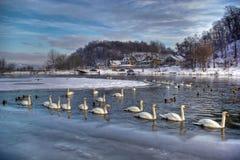 Cisnes en Tyniec, invierno Foto de archivo libre de regalías