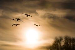 Cisnes en un fondo del cielo Foto de archivo libre de regalías