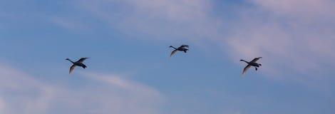 Cisnes en un fondo del cielo Imágenes de archivo libres de regalías