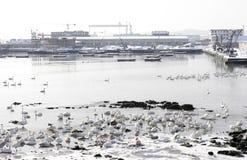 Cisnes en un lago Imágenes de archivo libres de regalías