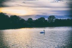 Cisnes en un lago cubierto con el sol Alemania imagen de archivo
