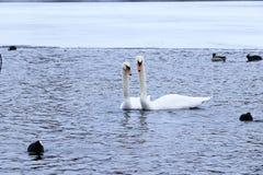 Cisnes en un lago del invierno fotografía de archivo libre de regalías