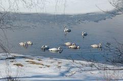 Cisnes en un lago no congelado Imágenes de archivo libres de regalías