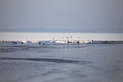 Cisnes en un lago parcialmente congelado en invierno Fotos de archivo libres de regalías