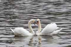 Cisnes en un lago que forma un corazón Fotos de archivo libres de regalías