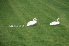Cisnes en un prado en Holanda Fotos de archivo
