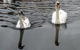 Cisnes en un río imagen de archivo libre de regalías