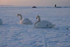 Cisnes en una bahía congelada Fotografía de archivo