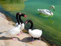 Cisnes en una charca Fotos de archivo