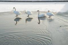 Cisnes en una charca del invierno Foto de archivo libre de regalías