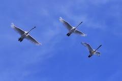 Cisnes en vuelo Foto de archivo libre de regalías