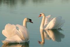 Cisnes encantadores en un lago en la puesta del sol imagen de archivo libre de regalías
