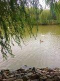 Cisnes encendido Fotografía de archivo libre de regalías