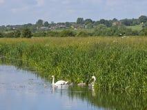 Cisnes fêmeas masculinas dos sinetes do bebê no rio Imagens de Stock