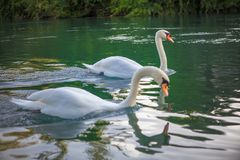 Cisnes graciosos no lago Foto de Stock Royalty Free