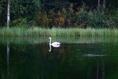 Cisnes hermosos en el lago finlandés con el fondo verde del bosque Fotos de archivo libres de regalías