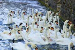 Cisnes, Inglaterra imágenes de archivo libres de regalías