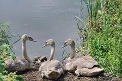 cisnes jovenes Imagen de archivo libre de regalías