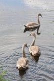 cisnes jovenes Foto de archivo libre de regalías