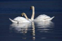 Cisnes junto Foto de Stock