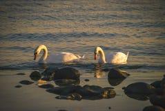 Cisnes junto para la vida Imágenes de archivo libres de regalías