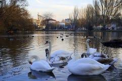 cisnes La charca en el parque En la puesta del sol imagen de archivo