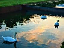 Cisnes, lago, natureza e conto de fadas fotografia de stock