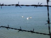 Cisnes libres Foto de archivo