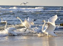 Cisnes listos para volar imagenes de archivo