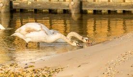 Cisnes longas do pescoço foto de stock royalty free