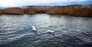 Cisnes marrones blancos en el lago Ohrid, Macedonia Fotos de archivo