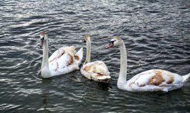 Cisnes marrones blancos en el lago Ohrid, Macedonia Imágenes de archivo libres de regalías