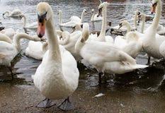 Cisnes mudas imagens de stock