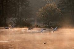 Cisnes mudas Fotografia de Stock Royalty Free