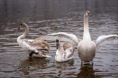 Cisnes mudas, cisne novo crescido que estica suas asas para defender-se fotografia de stock